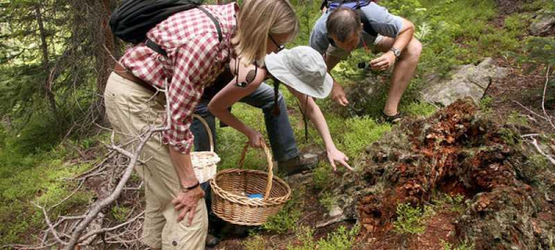Удачная грибная охота в подмосковных лесах